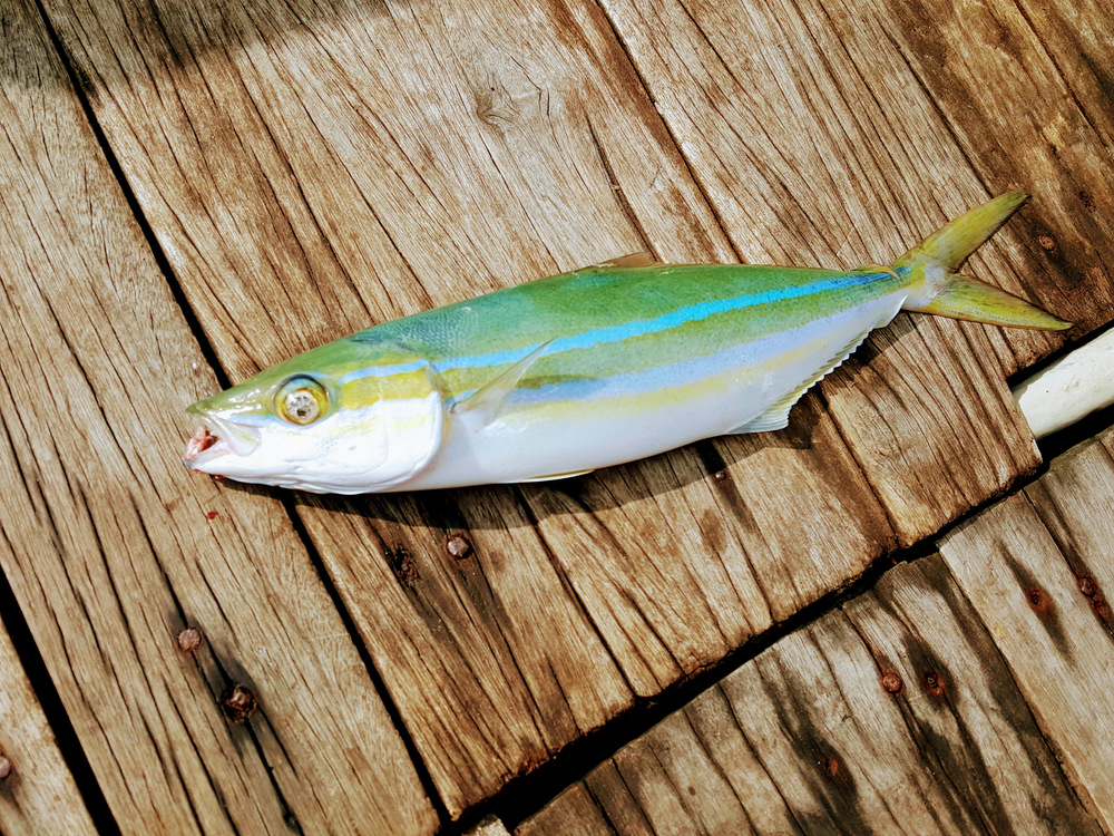 A school of Rainbow Runner spotted hammering small bait fish.